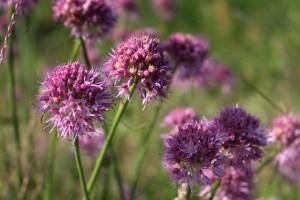fokhagyma virága