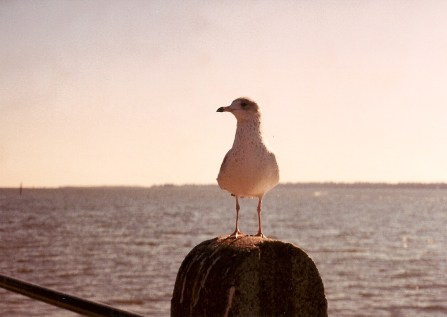 Seagull on the Battery - Charleston, SC