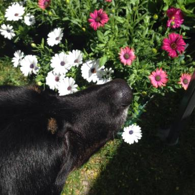 Booboo sniffing flowers