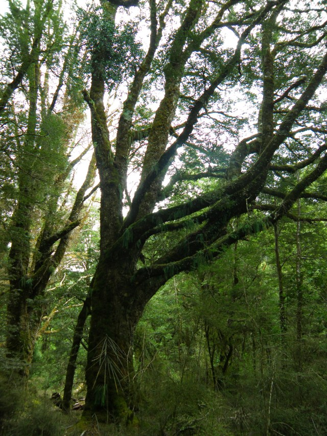 Beautiful trees of the temperate rainforest