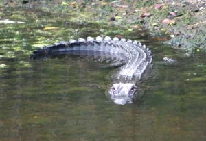 First gator 3