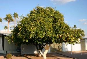 Grapefruit tree 2 web