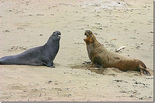 Elephant seal duo