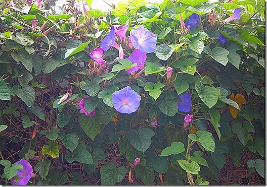 Harmony flowers