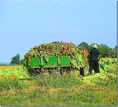 Tobacco harvesting man 2