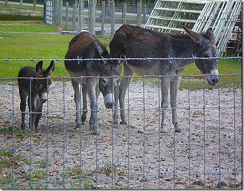 Donkey trio