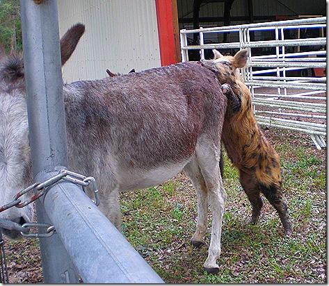 Pig and donkey