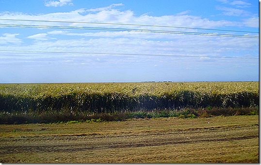 Canefields
