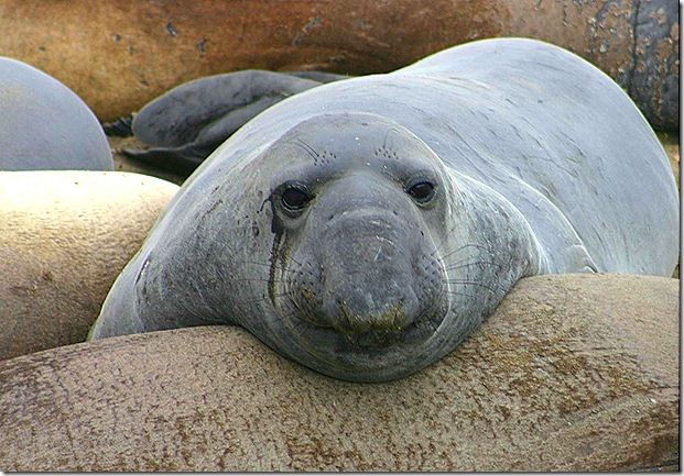 Elephant seal face