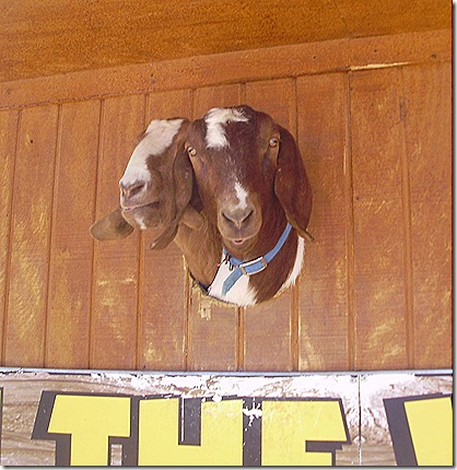 Two headed goat