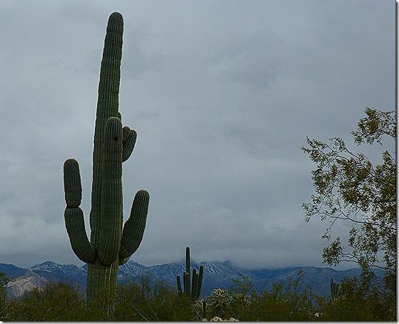 Desert Winter cactus 3