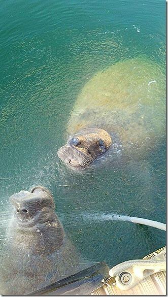 Watering manatee duo 4