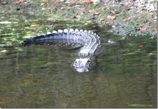First gator
