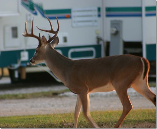 Big buck at RV