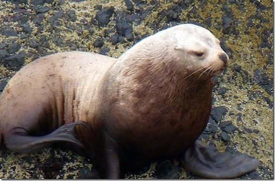 Sea Lion close
