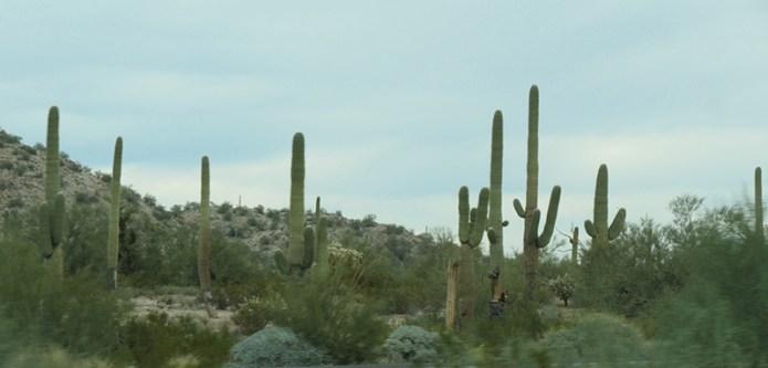 Saguaros small