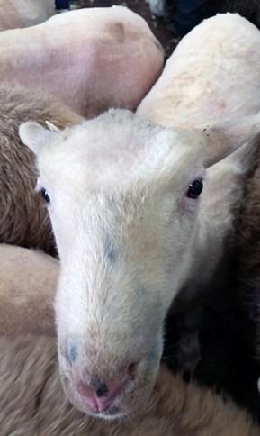 Bald sheep