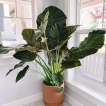 Elephant Ear Plant Care How To Grow Your Alocasia Regal Shield