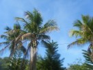 Florida Palms Sway Over Key Largo In the AM