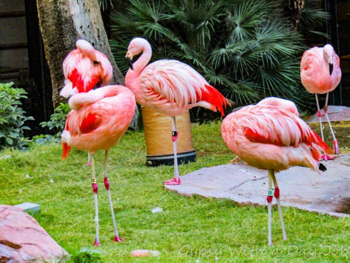 Las Vegas Flamingo flamingos, a relaxing habitat right on the strip, Las Vegas 101 Things to Do.