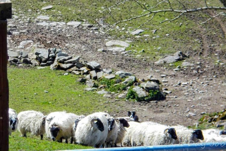 Traditional Irish Sheep Farm, Kissane Sheep Farm.