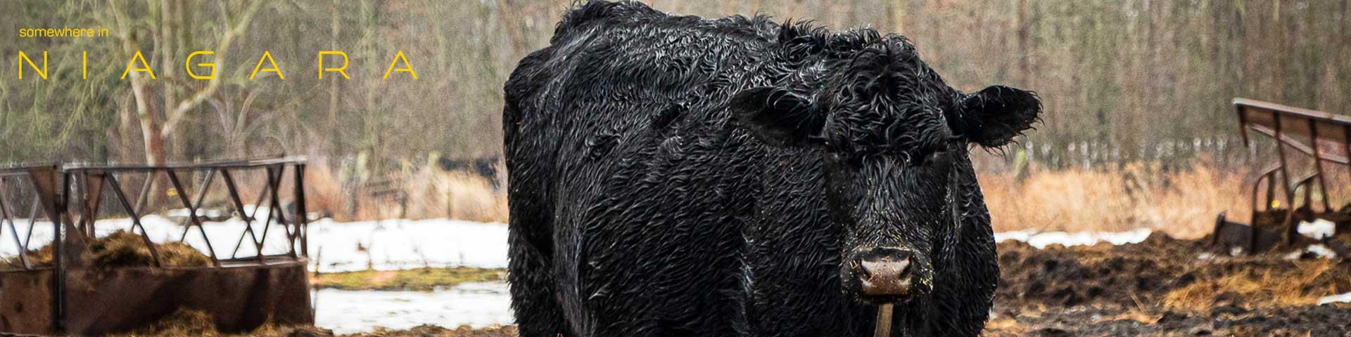 A bull in a field in the rain