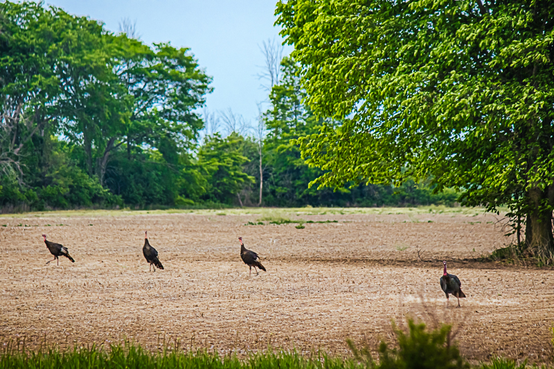 Four Turkey Vultures