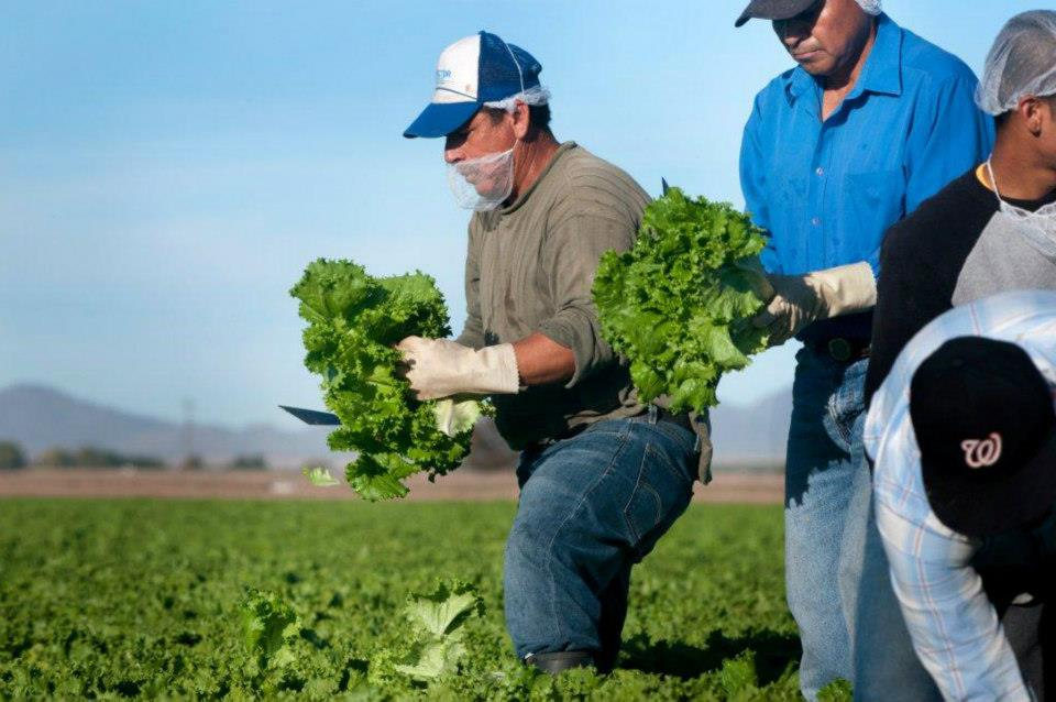 Lettuce Harvest - CITA Advantage