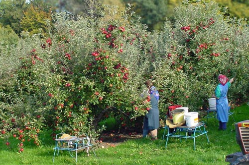 apple_picking_500