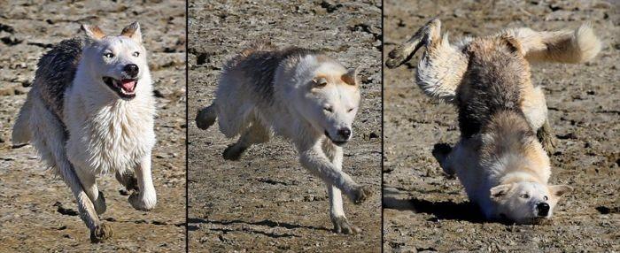 loup qui court et paf le loup FAIL