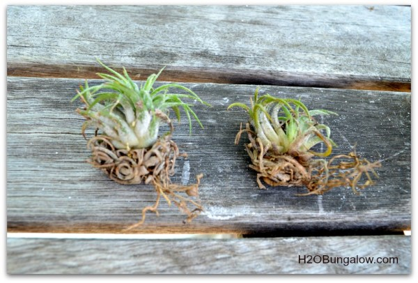Airplants don't have traditional roots and can be divided