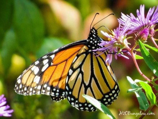 Monarch Butterfly in DIY butterfly garden with native plants See tutorial by H2OBungalow