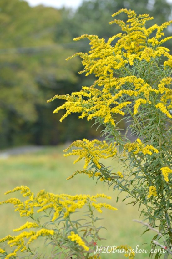 goldenrod-flower-h2obungalow