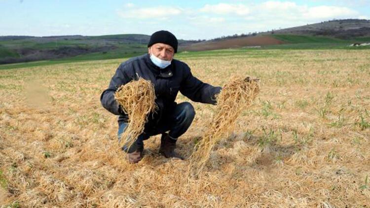 Trakya'da zirai don buğday tarlalarının sararmasına neden oldu