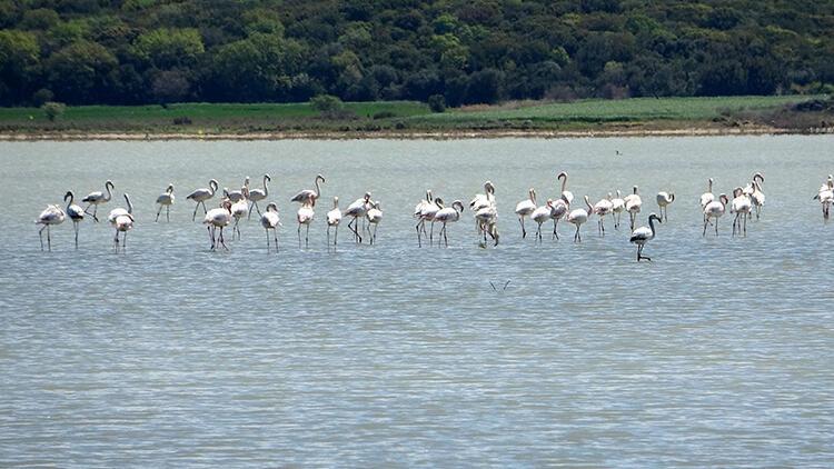 Çanakkale'de göç eden flamingolar görüntülendi