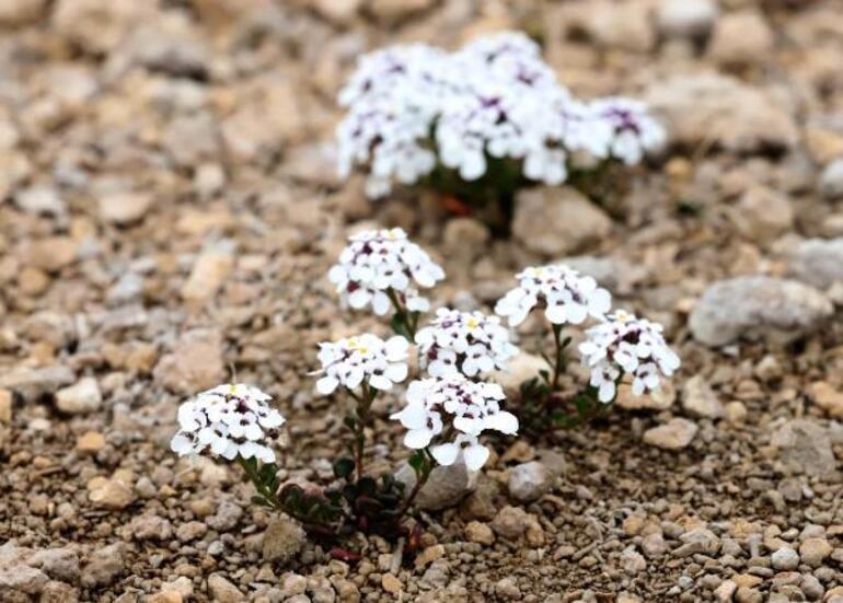 Bu bitki dünyada sadece Tuz Gölü havzasında yetişiyor