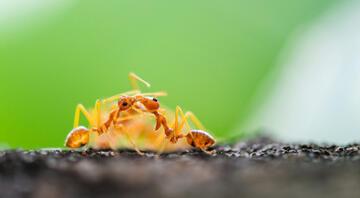 Bilim insanları şaşkın Karıncalar akraba evliliğinden kaçıyor…