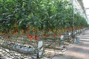 Bim topraksız domates üretimi yapan firmayı satın aldığını açıkladı. - Gıda Dedektifi