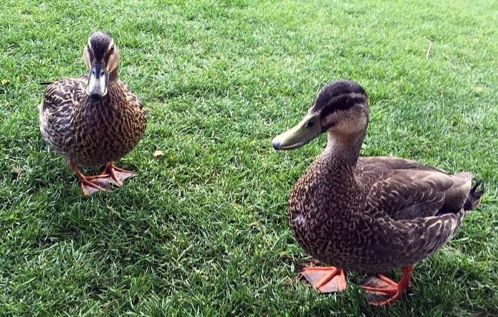 ducks-of-queenstown