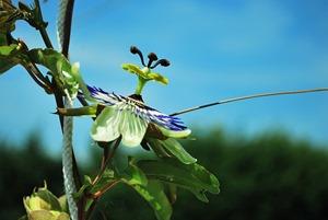 passiflore plante medicinale