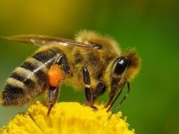 Las abejas insectos importantes