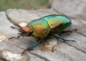 Los escarabajos tienen un sentido bien desarrollado en la vista y olfato