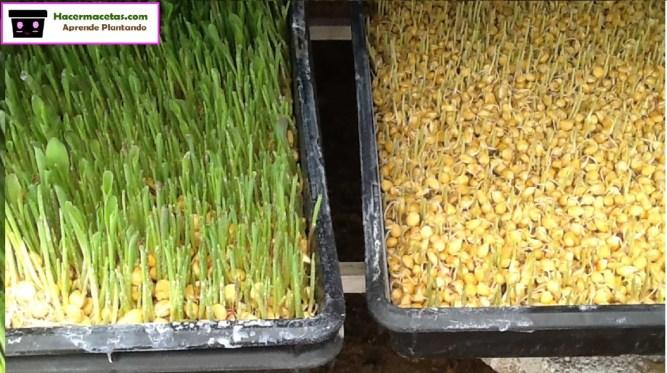 Maiz con germinacion inicial y estirado en las bandejas