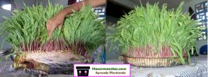 cultivo hidroponico de maiz casero.