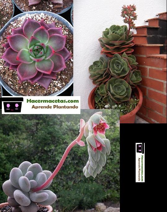 Las plantas suculentas mas bellas Echeverrias