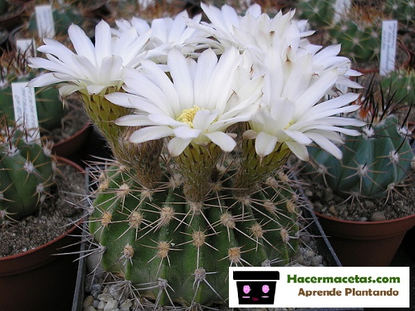 cactus floreado