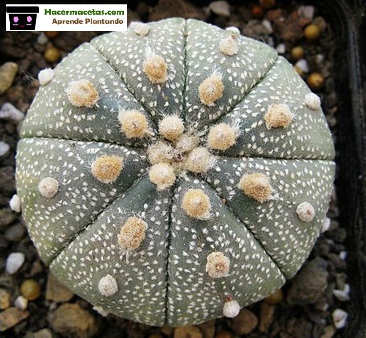 Astrofito adulta