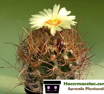 cactus floriado