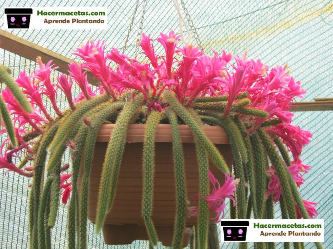 Cactus colgante o cola de ratas