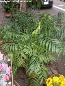 Chamaedorea elegans planta de interior